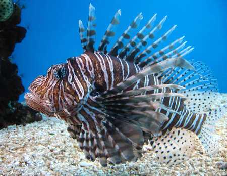 wildllife: Turkey Fish in Hawaii
