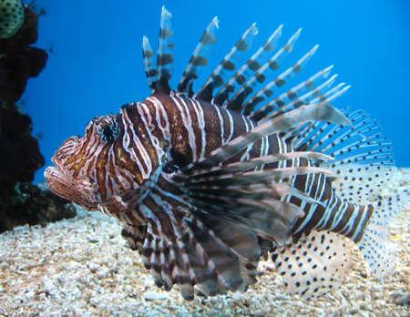 volitans: Turkey Fish in Hawaii