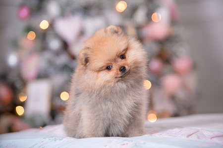 Pomeranian puppy in New Year Imagens