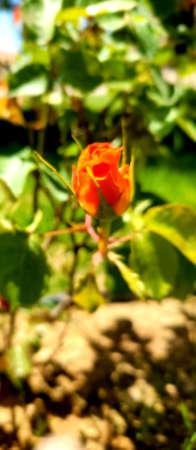 Beautiful rose flowers bloom in gardens during springtime, background sun flare on the around , Middle East, Kurdistan Standard-Bild