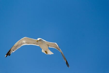 White seagull flying above the river in search of fish photo