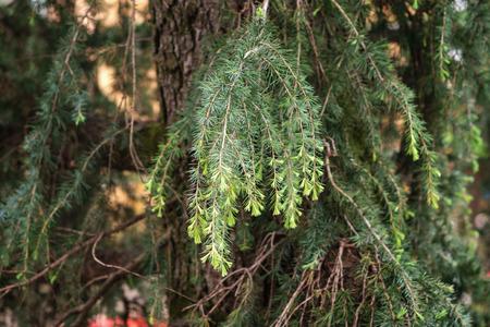 pine tree branch, selective focus Imagens