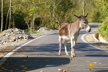Donkey on the road, autumn forest background