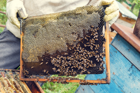 Beekeeper removing a frame of honeycomb from the beehive