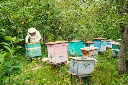 Beekeeper removing a frame of honeycomb from the beehive in the garden Standard-Bild