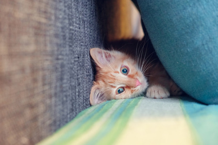 Red kitten playing and hiding between pillows, selective focus