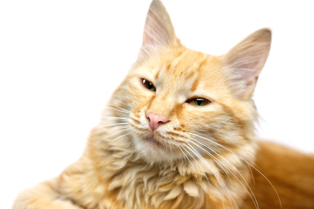 Close up face of ginger cat, white background