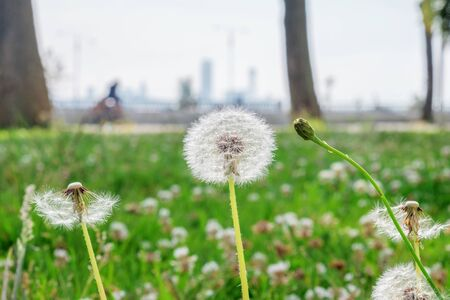 Dandelion on the green summer field, blurry Stock Photo