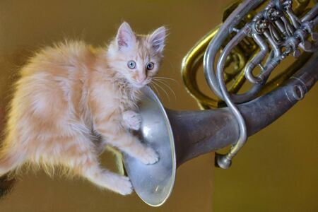 Ginger kitten playing with French horn on the golden