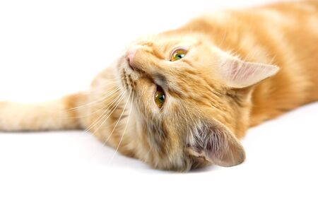 Close up face of ginger cat, white