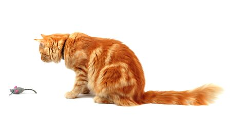Ginger cat staring at a toy mouse, isolated on white background Archivio Fotografico
