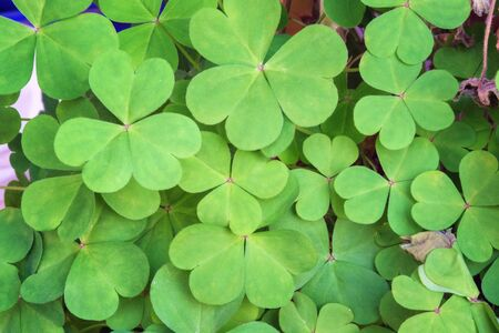 Green natural background with three-leaved shamrocks