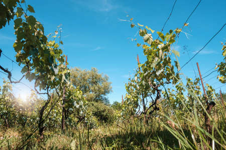 View at vineyard fields with blue sky background in summer sunny day