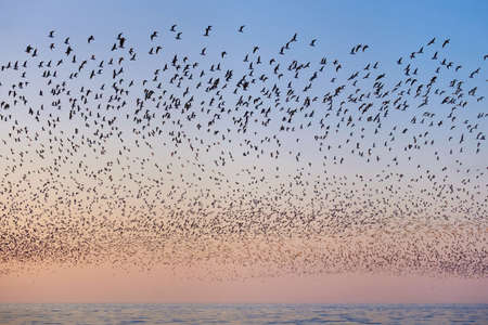 Flock of flying seagulls over the blue sea in the pink sunset sky
