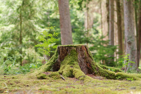 View of old tree stump covered with moss with a blurred forest background Archivio Fotografico