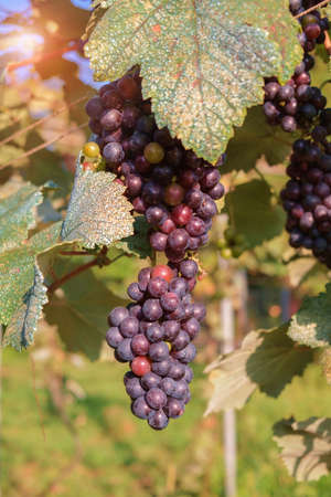 Single bunch of ripe red wine grapes hanging on a vine with green leaves