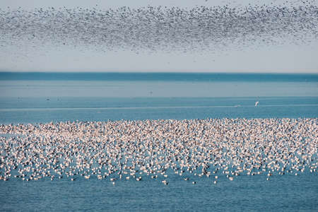 Flock of seagulls floating on the blue sea surface Banque d'images