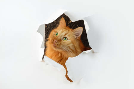 Ginger cat is looking through the ripped hole in white paper Banque d'images - 158691511