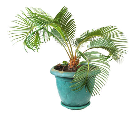 Decorative palm in a green pot isolated on a white background