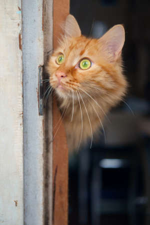 Red cat is going to walk outside and looking around from the door frame