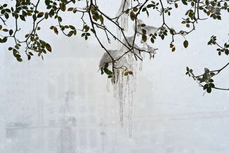 Frozen tree branch with icicles, pieces of ice and icicles hanging from tree, selective focus