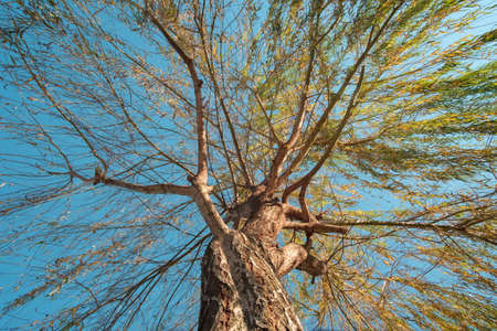 Willow branches with blue sky background, view from the bottom