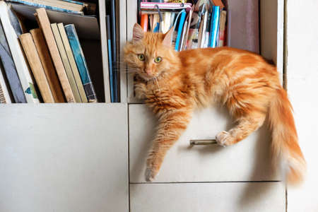 Red cat relaxing on shelf with books at home library