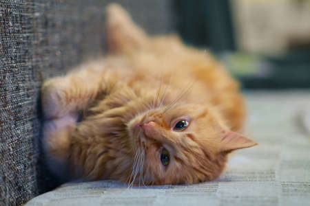 Ginger cat is playing on the sofa, selective focus