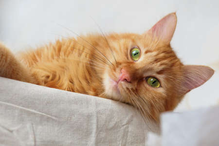 Close up of a red cat is laying and relaxing  on the table with white tablecloth