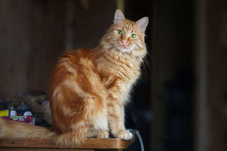 Ginger fluffy cat sitting on the table with blurred room interior background 版權商用圖片