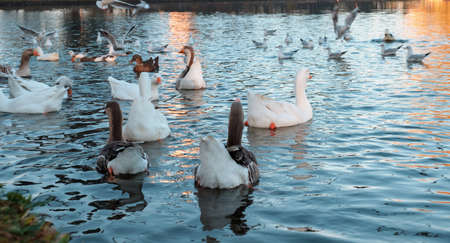 White and grey geese swimming across the water of the boating lake in park