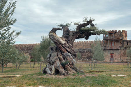 Old large olive tree trunk in the field with background of the defensive walls of the fortress