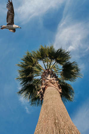 Blue sky and flaying seagull above the palm tree, view from the bottom