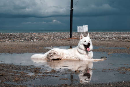 A cute white dog is cooling down and relaxing in the puddle on the beach