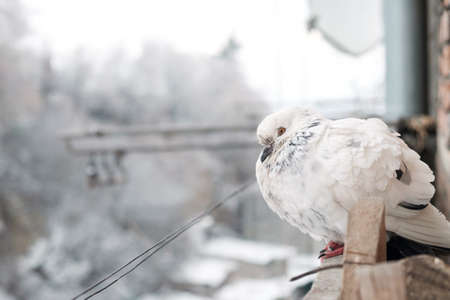 White pigeon on the snow-covered windowsill on a frosty day. The bird freezes in cold winter. Selective focus