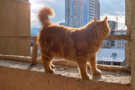 Ginger cat is wandering on the windowsill and looking outside Standard-Bild