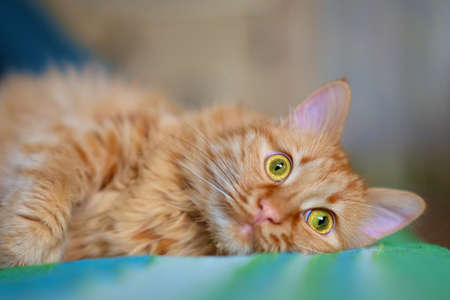 Close up of ginger cat is laying and relaxing on the sofa, selective focus Standard-Bild