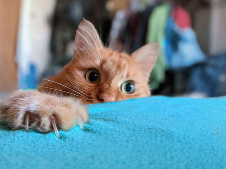 Ginger cat hiding and getting ready for attack