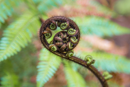 Young unfurling fern frond 版權商用圖片