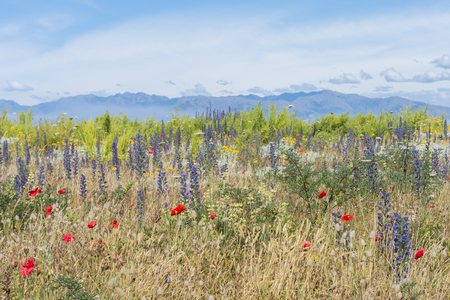 Flowering grass and red poppies against the distant mountains 版權商用圖片