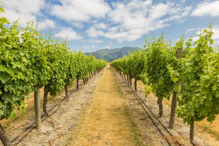 marlborough: Vineyard view against the distant mountains