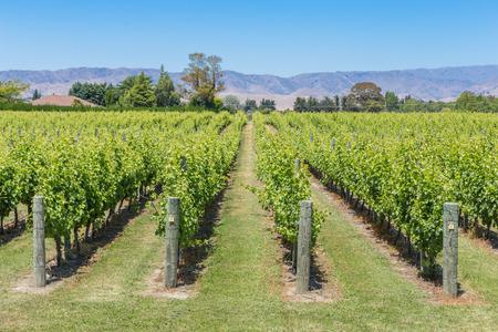 Sunny vineyard view 版權商用圖片