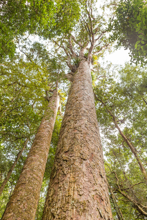 Kauri, or Agathis Australis, a native tree of New Zealand