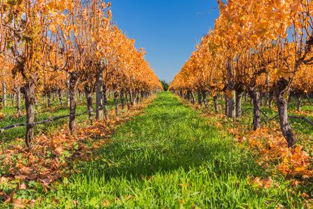 Late autumn yellow leave grape plants