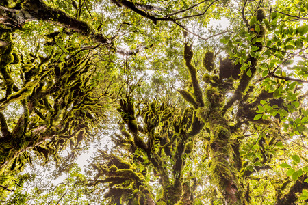 Bizarre mossy trees in Goblins Forest, Taranaki, New Zealand