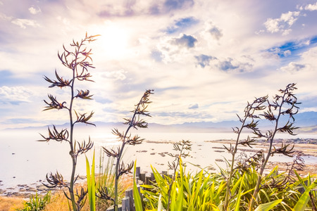 New Zealand flax against the sunset harbour view 版權商用圖片