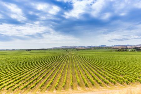 Big vineyard under a dramatic cloudy sky, Marlborough region, the South Island of New Zealand