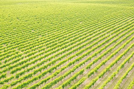Green diagonal lines of grapes 版權商用圖片