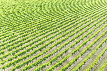 Lines of grapes at a vineyard 版權商用圖片