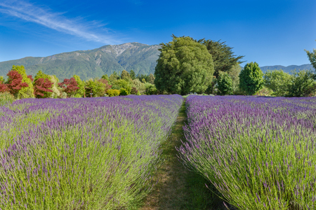 Lavender farm in the mountains